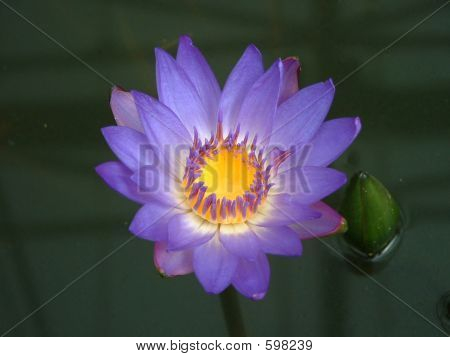 Picture or Photo of Plant - Waterlily