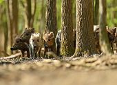 picture of omnivores  - Wild boars in their natural habitat in the spring