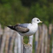 pic of mew  - Mew Gull  - JPG