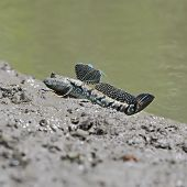 image of amphibious  - A little cute Mudskipper Amphibious fish  - JPG