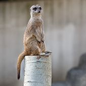 Meerkat sitting on guard