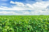 stock photo of husbandry  - Soybean field and blue sky in the summer - JPG