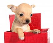 stock photo of peep  - Tan chihuahua puppy small dog peeps from gift box - JPG