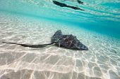 foto of sting  - Sting ray swimming in shallow water - JPG