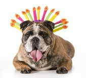 birthday dog - english bulldog wearing happy birthday hat - 2 year old brindle male