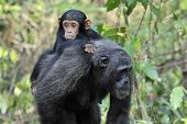pic of chimp  - Mother Chimpanzee walking by with carrying young - JPG