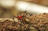 assassin bug is killing a termite