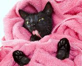 picture of black cat  - Cute black soggy cat licking after a bath drying off with a towel - JPG