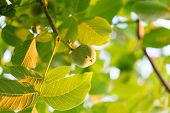 stock photo of walnut-tree  - Green walnut growing on a tree - JPG