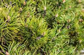 stock photo of pine-needle  - Closeup of the pine buds and needles - JPG