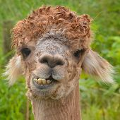 stock photo of alpaca  - close - JPG