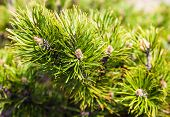 picture of pine-needle  - Closeup of the pine buds and needles - JPG
