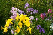 pic of stargazer-lilies  - yellow lily and violet phlox on the garden