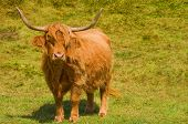 picture of highland-cattle  - Image of a Highland Cow - JPG