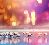 stock photo of flamingo  - flamingo in Bolivia - JPG