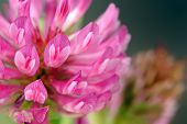 picture of red clover  - A macro shot of a beautiful red clover flower - JPG