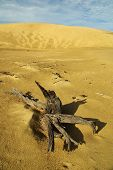 Постер, плакат: Мёртвое дерево в пустыне песок