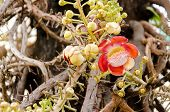 pic of cannonball  - Cannonball Tree and flower in temple of Thailand - JPG