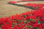 foto of salvia  - red salvia gardening is a beautiful walk - JPG