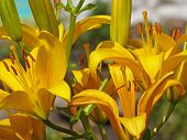 pic of day-lilies  - Beautiful yellow lily closeup in summer day - JPG