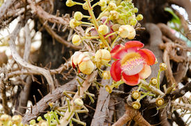 image of cannonball-flower  - Cannonball Tree and flower in temple of Thailand - JPG