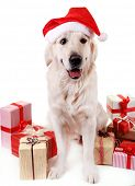 pic of labrador  - Adorable Labrador in Santa hat sitting with present boxes - JPG
