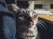 picture of lap  - Cat resting on the lap of a person at home - JPG