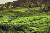 image of cameron highland  - Landscape with tea plantation Cameron highlands Malaysia - JPG