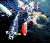 picture of koi  - Colourful ornamental koi fish in a pond - JPG