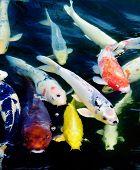 stock photo of koi fish  - Colourful ornamental koi fish in a pond - JPG