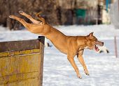 stock photo of american staffordshire terrier  - Dog breed American Pit Bull Terrier jumps over hurdle - JPG