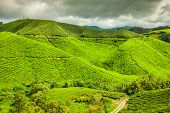 stock photo of cameron highland  - Green tea farm in Cameron Highland Malaysia Asia - JPG