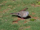 stock photo of pigeon  - The Crested Pigeon  - JPG