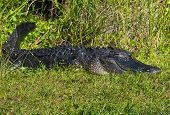 image of crocodilian  - American Alligator Laying in the Grass in the Florida Everglades - JPG