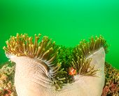picture of plankton  - Clownfish in its host anemone during a plankton bloom on a tropical coral reef - JPG