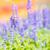 picture of blue-salvia  - Blue salvia flower in natural garden by depth of field technics - JPG