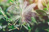 image of dry grass  - dry dandelion close - JPG