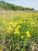 pic of winnebago  - Beautiful yellow flowers bloom in a prairie at Deer Run Forest Preserve  - JPG