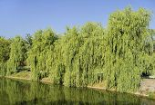 stock photo of weeping willow tree  - Willow Babylonian  - JPG