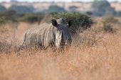 pic of rhino  - Lone rhino standing on a open area looking for safety from poachers - JPG