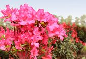 pic of azalea  - a close up shot of azaleas in full bloom.