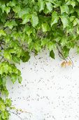 foto of ivy  - ivy leaves on wall background for wallpaper - JPG
