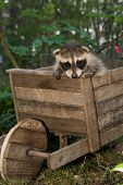 pic of scared baby  - A Baby Raccoon playing in the garden - JPG