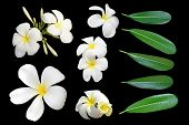 pic of plumeria flower  - Tropical flowers frangipani  - JPG