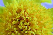 pic of marigold  - Macro shot of marigold flower showing natural pattern - JPG