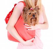 foto of yorkshire terrier  - Woman holding cute Yorkshire terrier in bag isolated on white - JPG