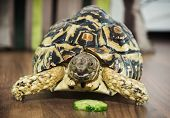 pic of herbivore animal  - Beautiful Leopard tortoise  - JPG