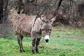 image of headstrong  - picture of a Poor wet donkey on the rain - JPG