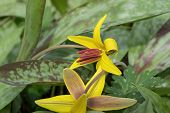 image of lily  - Common Fawn lily also known as Trout - JPG