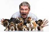 picture of puppy beagle  - The zonked  man and big group of a beagle puppies on white background - JPG